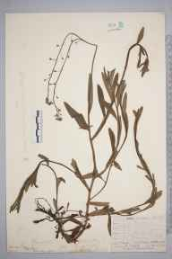 Myosotis scorpioides herbarium specimen from Petersfield, Hampshire in 1873 by Mr Frederick Townsend.