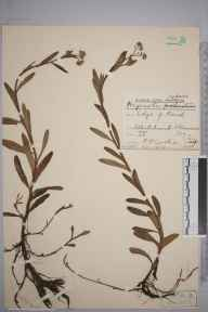 Myosotis secunda herbarium specimen from Whitchurch, VC21 Middlesex in 1909 by Rev. Philip Henry Cooke.