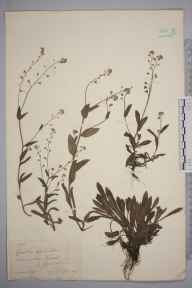 Myosotis sylvatica herbarium specimen from Sinnington, VC62 North-east Yorkshire in 1884 by Mr Walter Waters Reeves.