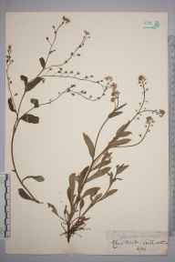 Myosotis sylvatica herbarium specimen from Kenilworth, VC38 Warwickshire in 1856 by Mr Frederick Townsend.
