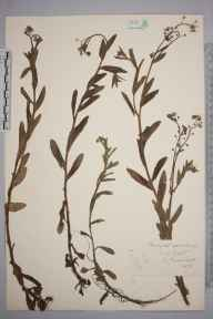 Myosotis sylvatica herbarium specimen from Isle of Wight, VC10 Isle of Wight in 1859 by A Hamburgh.