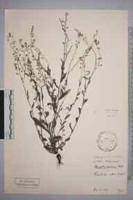 Myosotis arvensis herbarium specimen from Brasted, VC16 West Kent in 1907 by Stafford Edwin Chandler.
