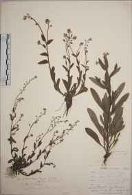 Myosotis arvensis herbarium specimen from Penzance, VC1 West Cornwall in 1862 by Mr Frederick Townsend.
