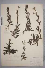 Myosotis arvensis herbarium specimen from Lizard, VC1 West Cornwall in 1899 by Mr Allan Octavian Hume.