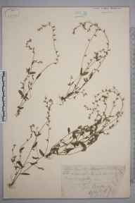 Myosotis discolor herbarium specimen from Kew Gardens, VC17 Surrey in 1879 by Mr George Nicholson.