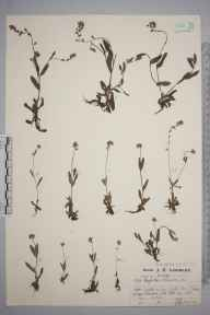 Myosotis discolor herbarium specimen from Box Hill, VC17 Surrey in 1923 by Mr Job Edward Lousley.