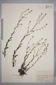 Myosotis discolor herbarium specimen from Cassington, VC23 Oxfordshire in 1942 by Charles Edward Hubbard.