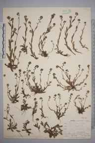 Myosotis discolor herbarium specimen from Kynance Cove, VC1 West Cornwall in 1899 by Mr Allan Octavian Hume.
