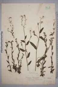 Myosotis discolor herbarium specimen from Holmwood, VC17 Surrey in 1926 by Mr Isaac A Helsby.