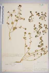 Cochlearia pyrenaica subsp. alpina herbarium specimen from Norwood, VC17 Surrey in 1908 by William Henry Griffin.
