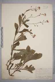 Myosotis dissitiflora herbarium specimen from Shedfield, VC11 South Hampshire in 1873 by Mr Frederick Townsend.