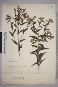 Lithospermum officinale herbarium specimen from Sidmouth, VC3 South Devon in 1893.