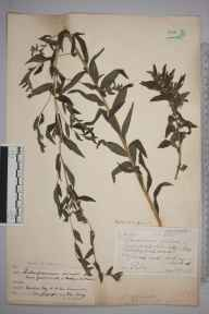 Lithospermum officinale herbarium specimen from Kelling, VC27 East Norfolk in 1917 by Frederick Long.