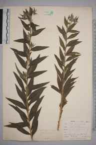 Lithospermum officinale herbarium specimen from Penpol, VC1 West Cornwall in 1900 by Mr Frederick Hamilton Davey.
