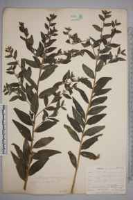Lithospermum officinale herbarium specimen from Newquay, VC1 West Cornwall in 1901 by Mr Allan Octavian Hume.
