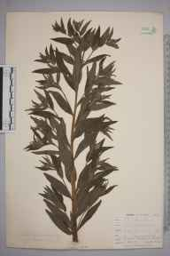 Lithospermum officinale herbarium specimen from Kennack Sands, VC1 West Cornwall in 1899 by Mr Allan Octavian Hume.