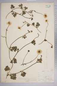 Ranunculus repens herbarium specimen from Crofton, Orpington, VC16 West Kent in 1902 by William Henry Griffin.