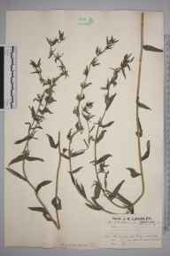 Lithospermum arvense herbarium specimen from Saint Margaret's at Cliffe, VC15 East Kent in 1925 by Mr Job Edward Lousley.