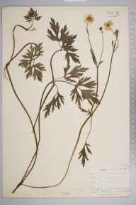 Ranunculus repens herbarium specimen from Norwood, VC17 Surrey in 1902 by William Henry Griffin.