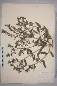 Echium vulgare herbarium specimen from Falmouth, Swan Pool, VC1 West Cornwall in 1899 by Mr Allan Octavian Hume.