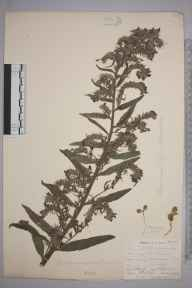 Echium vulgare herbarium specimen from Keston, VC16 West Kent in 1902 by William Henry Griffin.