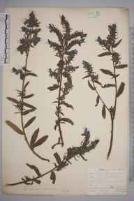 Echium vulgare herbarium specimen from Bodmin, VC2 East Cornwall in 1901 by Mr Allan Octavian Hume.