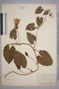 Calystegia sepium herbarium specimen from Crayford, VC16 West Kent in 1909 by William Henry Griffin.