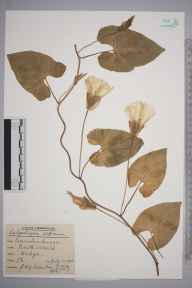 Calystegia sepium herbarium specimen from North Weald, VC18 South Essex in 1938 by Joseph Henry Garfield Peterken.