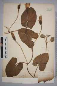 Calystegia sepium herbarium specimen from Catford,Southend, VC16 West Kent by William Henry Griffin.