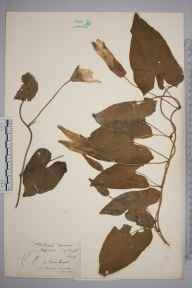 Calystegia silvatica herbarium specimen from Steephill, VC10 Isle of Wight in 1849 by A Hamburgh.