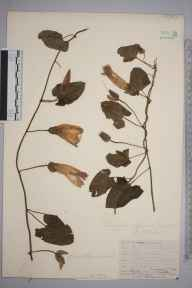 Calystegia pulchra herbarium specimen from Rotherhithe, VC16 West Kent in 1912 by William Henry Griffin.