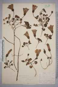 Calystegia soldanella herbarium specimen from Kennack Sands, VC1 West Cornwall in 1899 by Mr Allan Octavian Hume.