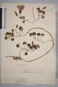 Calystegia soldanella herbarium specimen from Jersey,Saint Clements, VC113 Channel Islands in 1883.