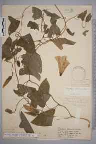 Calystegia dahurica herbarium specimen from South Nutfield, VC17 Surrey in 1956 by Miss B A Kneller.