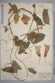 Calystegia dahurica herbarium specimen from Bletchingley, VC17 Surrey in 1956 by Miss B A Kneller.