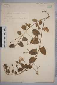 Convolvulus arvensis herbarium specimen from Beachy Head, VC14 East Sussex in 1871 by Mr William Hadden Beeby.