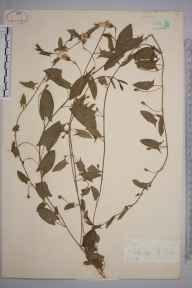 Convolvulus arvensis herbarium specimen from Felbridge, VC17 Surrey in 1886 by Mr William Hadden Beeby.