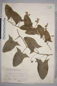Convolvulus arvensis herbarium specimen from Stone Marshes, VC16 West Kent in 1932 by Mr Charles Edward Britton.