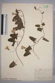 Convolvulus arvensis herbarium specimen from Steephill, VC10 Isle of Wight in 1889 by A Hamburgh.