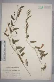 Convolvulus arvensis herbarium specimen from South Stoke, VC13 West Sussex in 1938 by Mr Edward Charles Wallace.