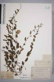 Convolvulus arvensis herbarium specimen from Winchester, VC11 South Hampshire in 1861 by M D.
