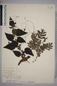 Cuscuta europaea herbarium specimen from Mickleham, VC17 Surrey in 1934 by Randolph William Robbins.