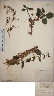 Cuscuta europaea herbarium specimen from Lewes, VC14 East Sussex in 1841 by Joseph Woods.