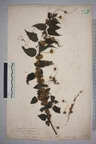 Cuscuta europaea herbarium specimen from Bath, VC6 North Somerset in 1892 by A E Burr.