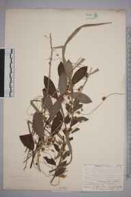 Cuscuta europaea herbarium specimen from Esher, VC17 Surrey in 1903 by Mr James Groves.