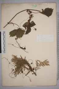 Cuscuta europaea herbarium specimen from Wisley, VC17 Surrey by Mr George Nicholson.