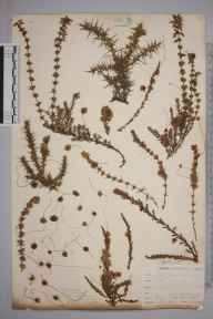 Cuscuta epithymum herbarium specimen from Hindhead, VC17 Surrey in 1898 by Mr Allan Octavian Hume.