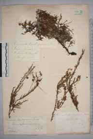 Cuscuta epithymum herbarium specimen from Thursley Common, VC17 Surrey in 1883 by Mr William Hadden Beeby.