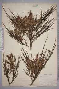 Cuscuta epithymum herbarium specimen from Dungeness, VC15 East Kent in 1903 by William Henry Griffin.