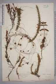 Cuscuta epithymum herbarium specimen from Sheringham, VC27 East Norfolk in 1922 by Mr Isaac A Helsby.
